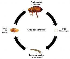 ciclu de viata purici